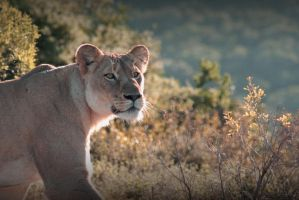 on the prowl by NicolasM
