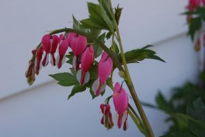 Stock 129 - Bleeding Hearts by pink-stock