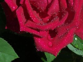 Dew Frosted Red Rose by Silver-Dew-Drop