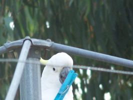Sulpher Crested Cockatoo 9 by DreamsDeleted