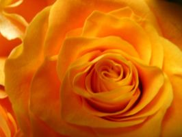 yellow rosa. by mihi2008