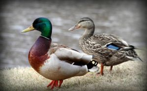 Ducks by PascalsPhotography