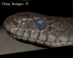 grey rat snake, currently in blue by MaliskaRodgers