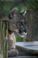 Florida Panther II by remadance