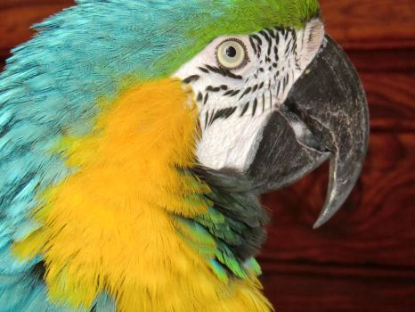 Macaw... or parrot? by skydivergirl