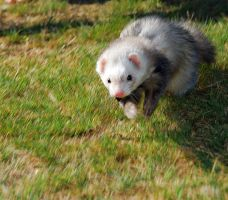 Run Ferret Run by mjphotoart