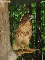 Red Tailed Hawk 07 by LinzStock