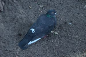 Pigeon 6 by Panopticon-Stock