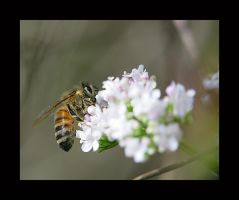 Honey Bee by swashbuckler