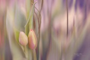 Tulips in pastel by CindysArt