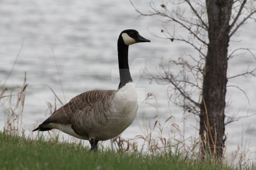 Canada Goose by ChinookDesigns