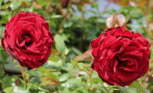 Red roses by Vincent-Malcolm