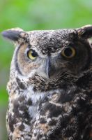 Great Horned Owl by PunkerThanThou