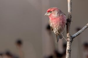 Male House Finch II by SonjaPhotography