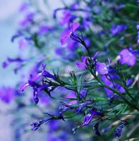 blue and purple by Blaumohn