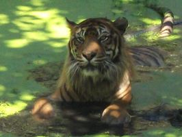 A tiger in the water 1 by Lena-Panthera