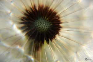 heart of a dandelion by Philatx