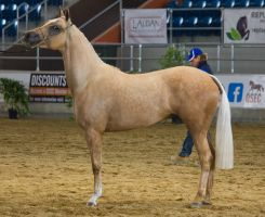 STOCK - 2014 Arabian Gala-207 by fillyrox