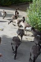 Geese, Roll Out by rachel-gidluck