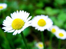 daisies by fannyjns