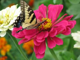 Eastern Tiger Swallowtail I by curiousused