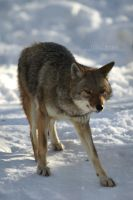 Parc Omega Coyote by ShadowAether
