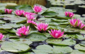 In the Lily Pond by phospherant