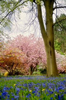 Bluebells and Blossom by Bootcoot