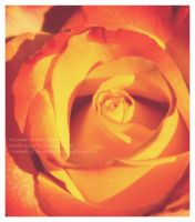 Orange and yellow rose by OMG-ImSoAwesome
