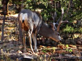 Deer in the forest.......Grand Canyons by gintautegitte69