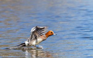 Eurasian Widgeon by ErikEK