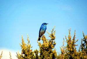 Mountain Bluebird by Riphath