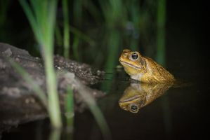 Ridiculously Photogenic Cane Toad by tuftedpuffin