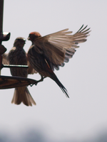 Finch Fight 2 by photographyflower