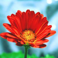 Gerbera Daisy by incolor16