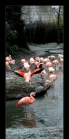 flamands roses by Mayoux