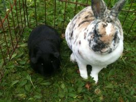 Guinea Pig And Rabbit Stock Image-1 by Neo282Mw-Stock-Image