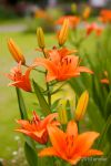 Orange Lilies by allim7905