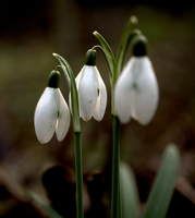 Snowdrops by bmh1