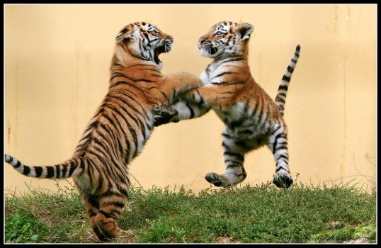 Dancing Tiger Cubs by AF--Photography