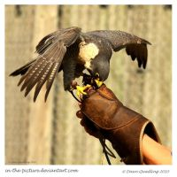 Mantling Peregrine 40 of 365 by In-the-picture