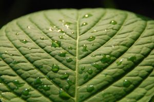 Leaf With Raindrops by dancingkat33