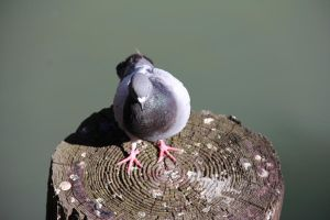 Pigeon 3 by Chocomix-Stock