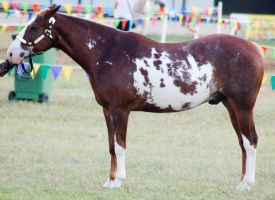 Paint standing square halter by Chunga-Stock
