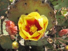 Prickly Pear by hclausen