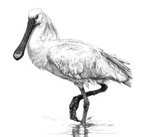 Spoonbill by Char10tte