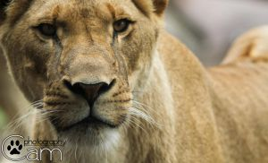 Lioness Portrait by CamStatic