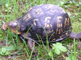 Found this little turtle in our yard. 4 by tigernose123