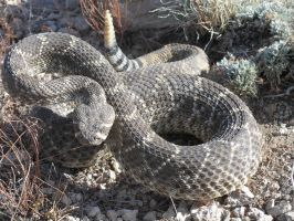 western diamondback by vegeta88