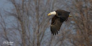Eagle winter flyby by DGAnder